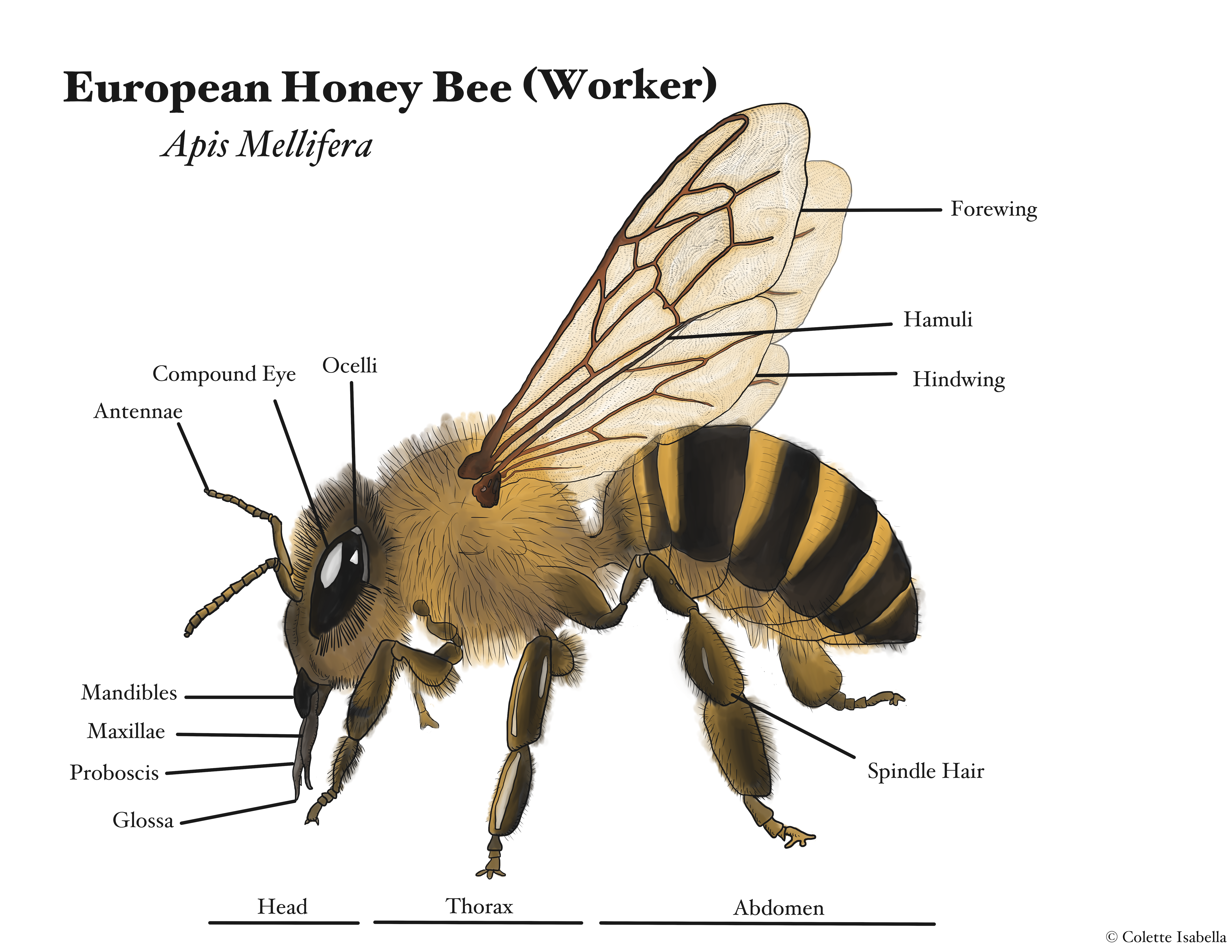 Male Bee Anatomy Topsimages